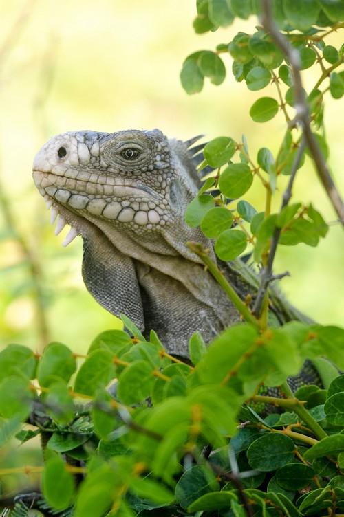 Iguane sur Petite Terre