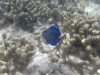 bleu-blanc-vert-poisson-barriere-corail