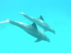 dauphins-croisiere-guadeloupe