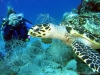 tortue-imbriquee
