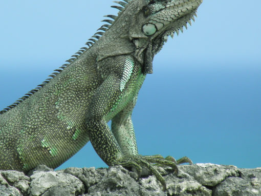 Iguane vert de Guadeloupe